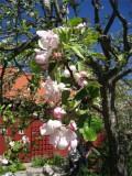 Äppelträden blommar på Julita gård