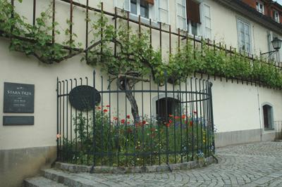 Världens äldsta vinranka – en fyrahundra år gammal planta. De femton meter långa skotten har spaljerats längs en husvägg. Skylten till vänster informerar på tre språk, slovenska, tyska och engelska.