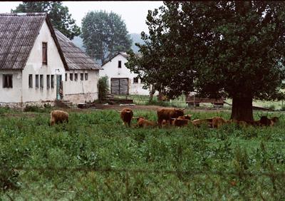 Och Highland Cattle-korna betar utan att fundera över framtiden.