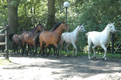 Hästarna springer längs ängen.