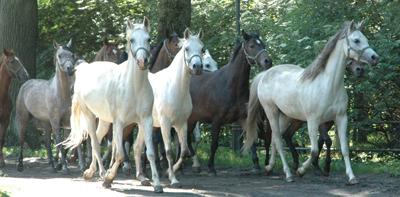 De vackra hästarna springer genom allén på Janów. Foto: Stanisław Godula.