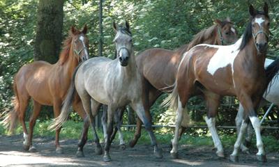 Ystra hästar längs ängen.