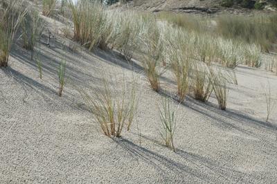 På den långa sandstranden växer gräset i i tussar.