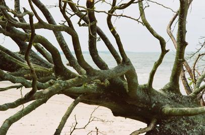 Magiskt förvridna trädstammar ger karaktär åt stranden.