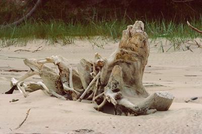En avskalad bleknad stam, kunde vara ett skelett efter en utdöd jätteinsekt.
