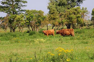 Kor från primitiva raser strövar omkring och betar på mossen. Foto: Stanisław Godula.
