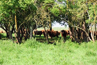 När det blir för varmt tar de vilda korna skydd under trädens skugga. Foto: Stanisław Godula.