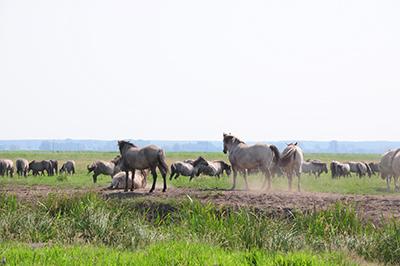 En flock vildhästar rör sig i naturreservatet. Foto: Stanisław Godula