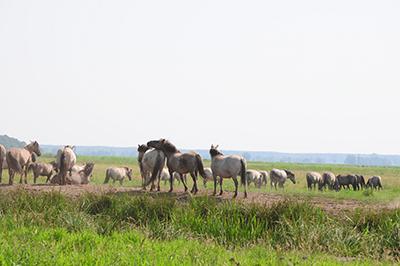 Vildhästar på Czarnocins mosse i västra Pommern. Foto: Stanisław Godula.