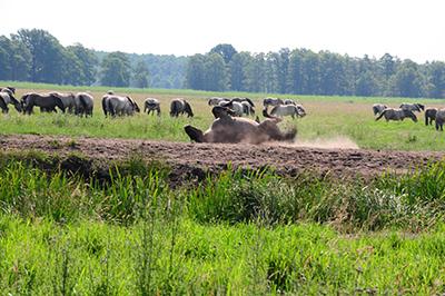 Vildhästarna tycekr om att rulla sig i sanden. Foto: Stanisław Godula.