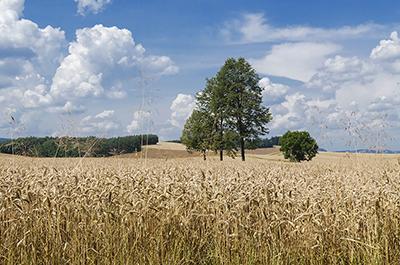 Veteåker i Raszkowo. Foto: Jacek Halicki, wikipedia.