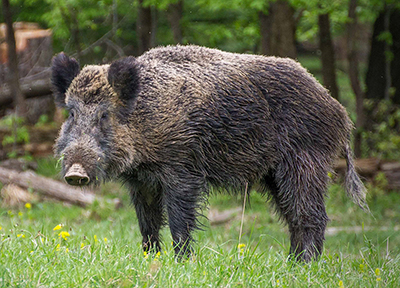 Ett vildsvin dök upp på badstranden i Karwia. Foto: Valentin Panzirsch
